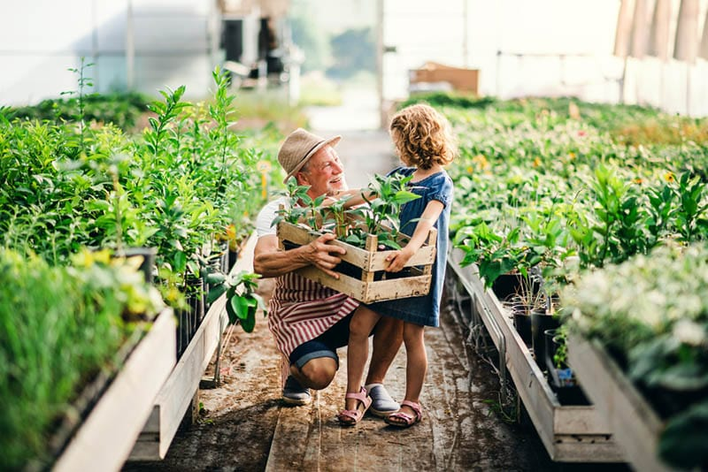 Kleines Mädchen mit Senior Großvater Gartenarbeit im Gewächshaus