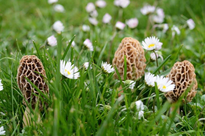 Morcheln Pilze im Gras mit Blumen
